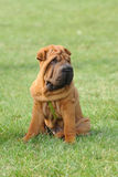 Shar-pei dog puppy portrait Stock Photography