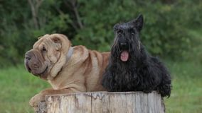 Shar Pei Dog and the Scottish terrier stock video