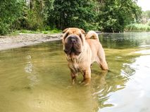 Shar Pei dog stands in the water on the river stock photo