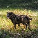 Shar Pei Dog Stock Photography