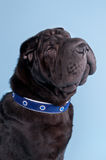Shar-pei dog wearing blue collar Stock Photography