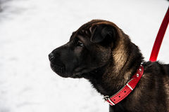 Shar pei dog royalty free stock photography