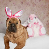 Shar Pei Easter Portrait. Shar Pei wrinkle dog with his bunny and his ears all posed for Easter stock photo