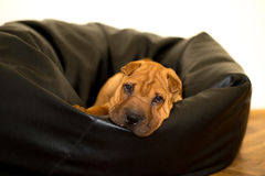Shar Pei. Enjoys in his home Stock Image