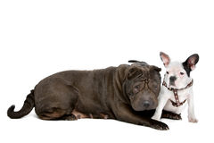 Shar-Pei and a French Bulldog puppy Stock Photo