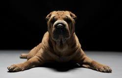 Shar Pei łgarski puszek w ciemnym studiu Zdjęcie Royalty Free