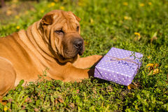Shar Pei. And gift box Stock Images