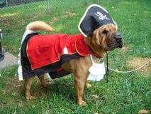 Shar Pei in het Kostuum van de Piraat Stock Foto