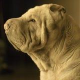 Shar Pei hund fotografering för bildbyråer