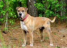 Shar-pei Hund mit Räude stockbild