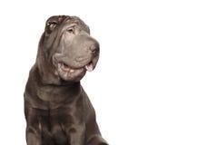 Shar-pei hund som isoleras på vit bakgrund royaltyfri foto