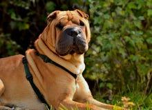 Shar Pei hund som poserar med se för stolthet royaltyfria bilder