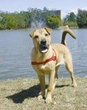 Shar pei like dog Royalty Free Stock Images