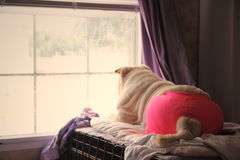 Shar pei looking out window Royalty Free Stock Images