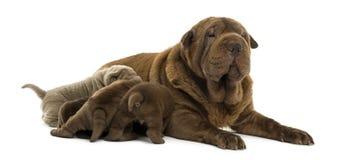 Shar Pei-mamma liggen, die haar puppy de borst geven royalty-vrije stock fotografie
