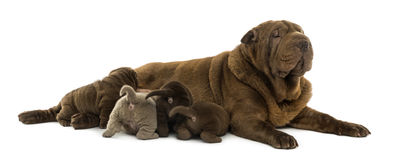 Shar Pei mom lying down, breastfeeding her puppies Stock Image