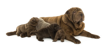 Shar Pei mom lying down, breastfeeding her puppies Stock Photos