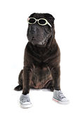 Shar-pei occasionnel sportif Photo stock