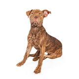Shar Pei and Pit Bull Cross Breed Dog Sitting Stock Photo
