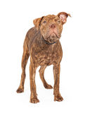 Shar Pei and Pit Bull Cross Breed Dog Standing Stock Photo