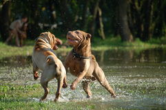 Shar pei playing in the water. 2 young Shar pei dog are playing in the water Stock Photo
