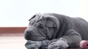 Shar Pei Pup Playing with its Rag stock video footage