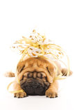 Shar pei puppie. Beautiful sharpei puppie with golden bow isolated on white background Stock Image