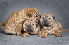 Shar-Pei puppies Stock Photos