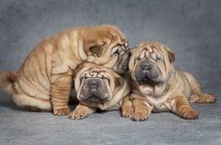 Shar-Pei puppies Stock Photos