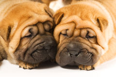 Shar pei puppies Royalty Free Stock Image