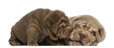 Shar Pei puppies cuddling Stock Photo