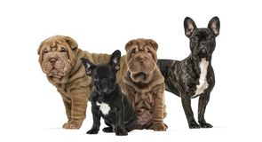 Shar Pei puppies and french bulldogs together against white back. Ground Royalty Free Stock Photos