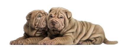 Shar Pei puppies lying, cuddling Stock Images