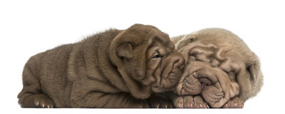 Shar Pei puppies lying, cuddling Stock Photography