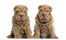 Shar Pei puppies sitting, looking at the camera Royalty Free Stock Photo