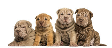 Shar Pei puppies sitting in a row, Royalty Free Stock Images