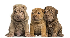 Shar Pei puppies sitting in a row, isolated on whi royalty free stock photos