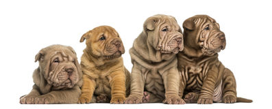 Shar Pei puppies sitting in a row, looking away, Royalty Free Stock Photo