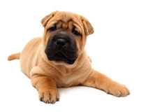 Shar pei puppy Royalty Free Stock Photo