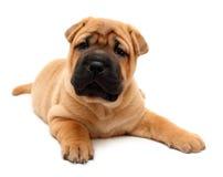 Shar pei puppy. Dog isolated on white Royalty Free Stock Photo