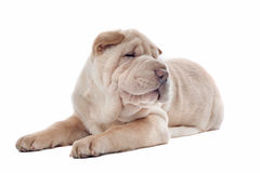 Shar-pei puppy Royalty Free Stock Photography