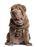 Shar Pei puppy, 3 months old, sitting Royalty Free Stock Photo