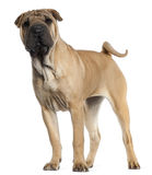 Shar Pei puppy, 6 months old, standing Royalty Free Stock Photos