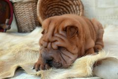 Shar-pei puppy with autumn backround Stock Images