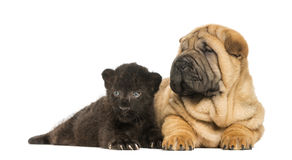 Shar pei puppy and Black Leopard cub lying down Stock Photography