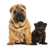Shar pei puppy and Black Leopard cub sitting next to each other Stock Image