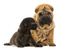 Shar pei puppy and Black Leopard cub sitting next to each other. Isolated on white Royalty Free Stock Photography