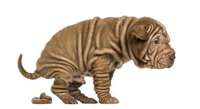 Shar Pei puppy defecating, isolated on white Royalty Free Stock Photography