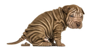Shar Pei puppy defecating, looking at the camera, Royalty Free Stock Photo