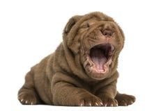 Shar Pei-puppy die, geïsoleerde geeuw, liggen Stock Foto's